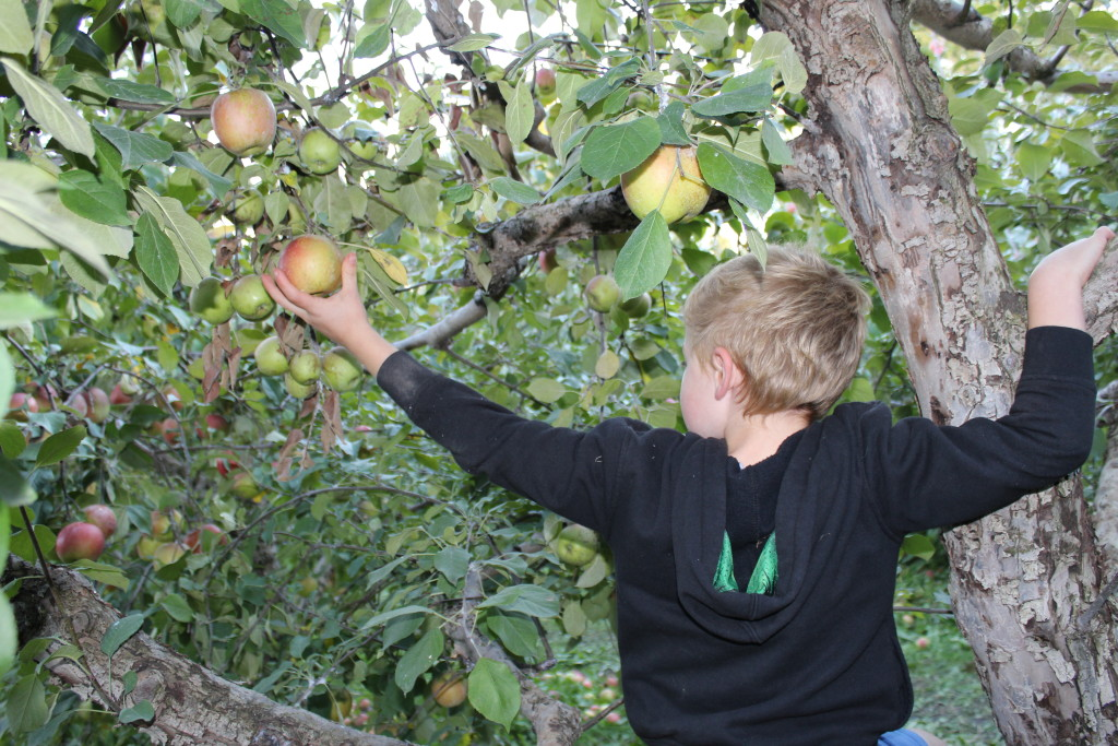 Brecken finding the perfect apple up the tree